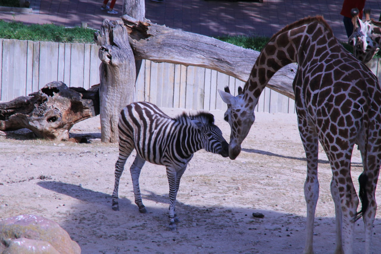 animal themes, animals in the wild, animal wildlife, mammal, striped, zoo, zebra, young animal, day, outdoors, standing, togetherness, no people, nature, safari animals