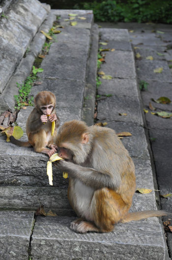 Monkey and infant eating banana by temple