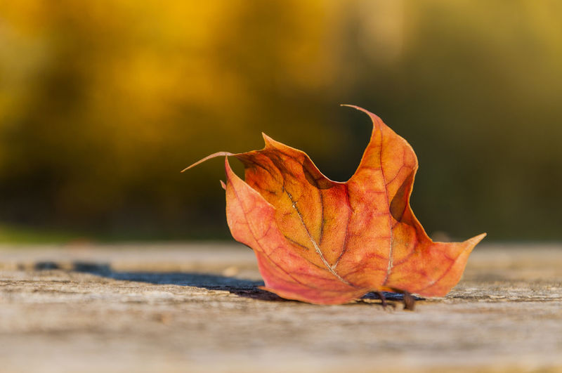 Close-up of leaf on table during autumn