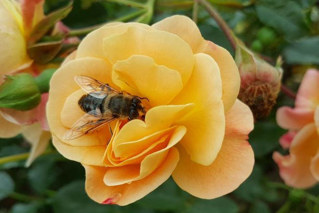 Une rose de mon jardin Spring Springtime Rose - Flower Rose🌹 Nature Nature_collection Nature Photography Naturelovers Orange Flower Head Flower Bee Buzzing Insect Petal Yellow Close-up Animal Themes Plant Rose Petals Single Flower Pollination Pollen