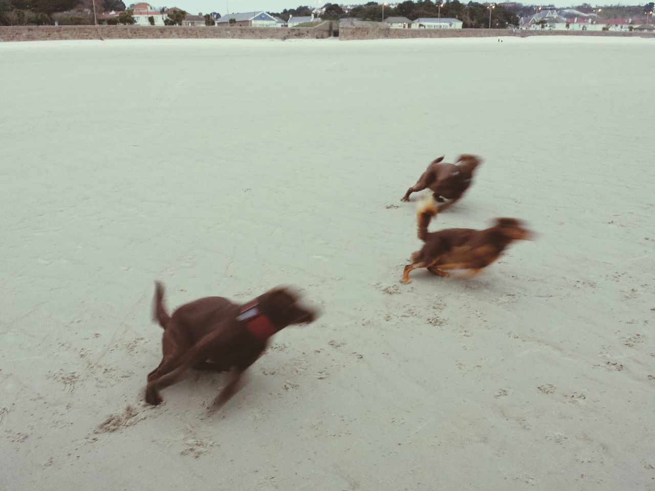 View Of Dogs Running On Beach