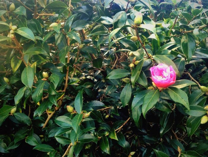 First camellia of 2015. Flowers Flower Pink Plants Nature Spring Spring Flowers