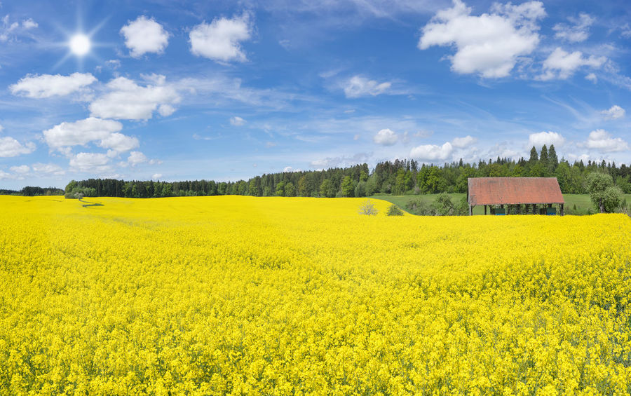 Large blooming rapeseed field at an open barn near a forest edge in the sunshine Agriculture Barn Farmland Field Nature Plant Rapeseed Field Bloom Blooming Blossom Blossoming  Canola Canola Field Countryside Farming Forest Forest Edge Landscape Large Rapeseed Scenery Season  Spring Sun Yellow
