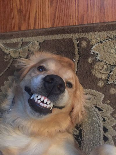 Smile! Pets Domestic Animals Dog Mammal Animal Themes One Animal Indoors  Portrait Looking At Camera No People Home Interior Close-up Day Smile Goldenretriever Puppy Cute Funny Funny Faces Funny Anımals FUNNY ANIMALS