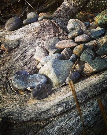 Rocks in the trunk of a fallen tree Riverrock Treetrunks Fallentree Americanriver Sacramento Gooutside Beautifulnorcal Norcal