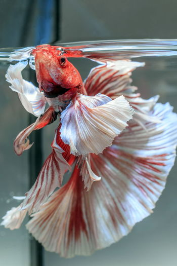 Close-up of siamese fish in tank