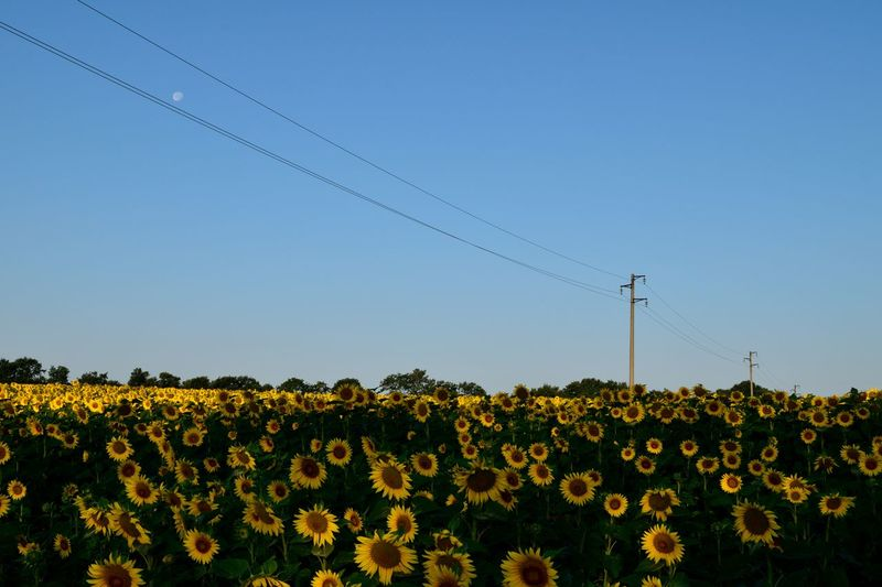 wake up the sun Away Beauty In Nature Cable Clear Sky Connection Dawn Day Diagonal Electricity Pylon Field Flower Fragility Freshness Growth Landscape Moon Nature No People Outdoors Plant Rural Scene Sky Technology