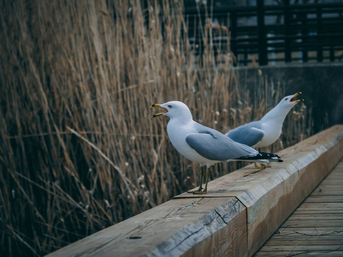 Animal Animal Themes Animal Wildlife Animals In The Wild Architecture Bird Built Structure Day Fence Focus On Foreground Nature No People One Animal Outdoors Perching Railing Seagull Selective Focus Vertebrate Wood - Material