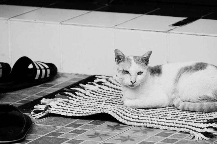 Pets Mammal Cat Feline Domestic Cat Domestic One Animal