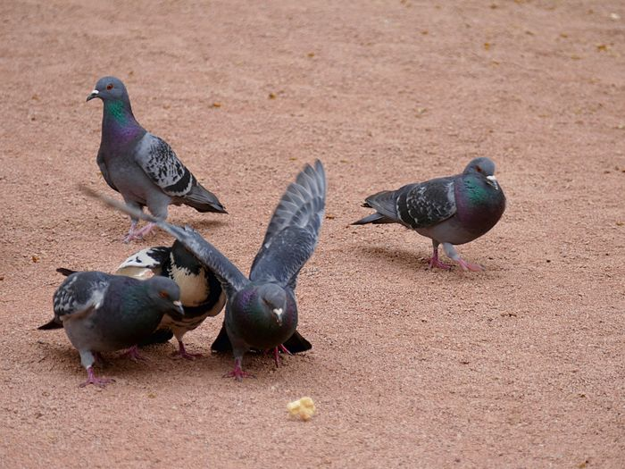 Pigeon fighting over piece of bread