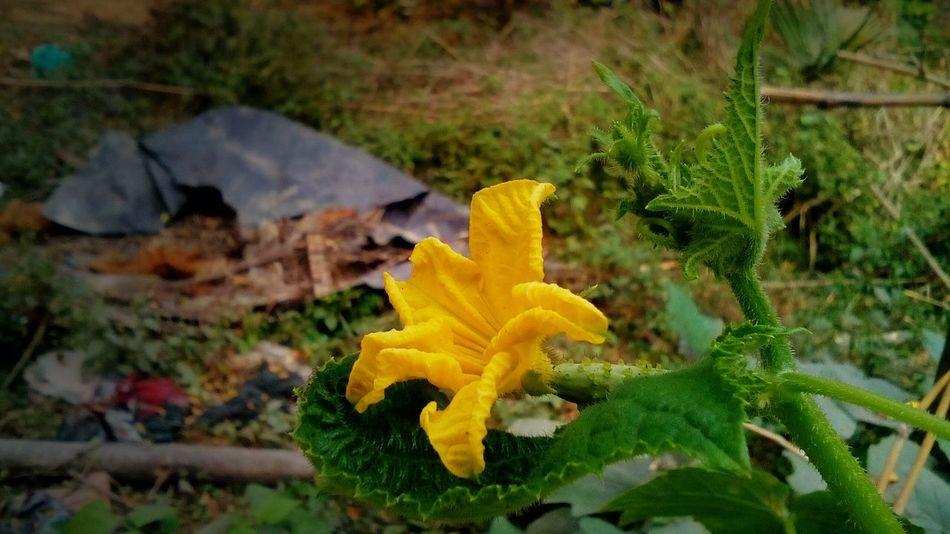 Yellow Flower Cucumberflower