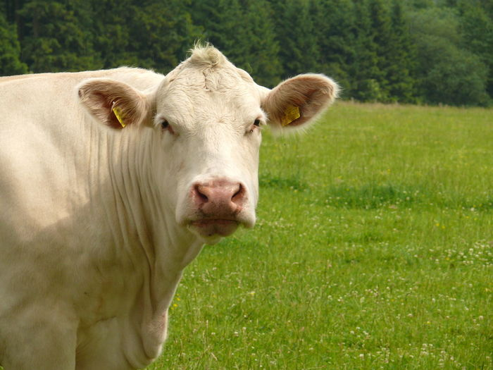 Rind Animal Themes Beauty In Nature Charolais Charolles Cremefarben Domestic Animals Domestic Cattle Fleischproduktion Grass Green Color Hausrind House Bark Landscape Livestock Looking At Camera Lookingup Mammal Nature No People One Animal Outdoors Portrait Rasse Weiss