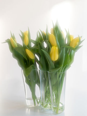 Glass Vase with Tulips on White Background Day Flower Flower Head Freshness Green Color No People Springtime Tulips Vase Of Flowers White Background Yellow Color Yellow Flower