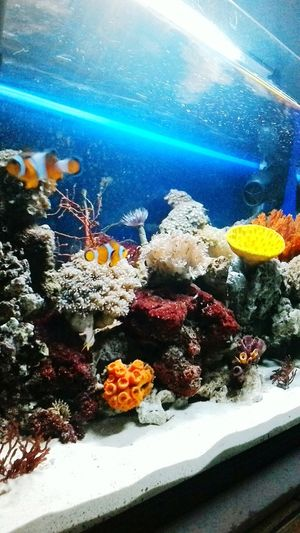 good evening Clown Fish Cardinal Fish Indonesia_allshots Saltwaterfish All_shots Allshots Saltwatertank Hobbies Fish Akuarium