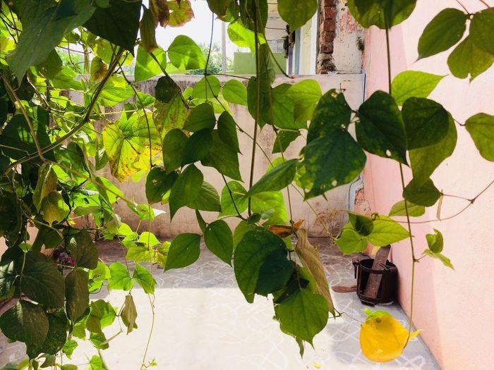 Leaf Plant