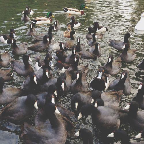 Ducks in Palace Of Fine Arts San Francisco by Popckorn