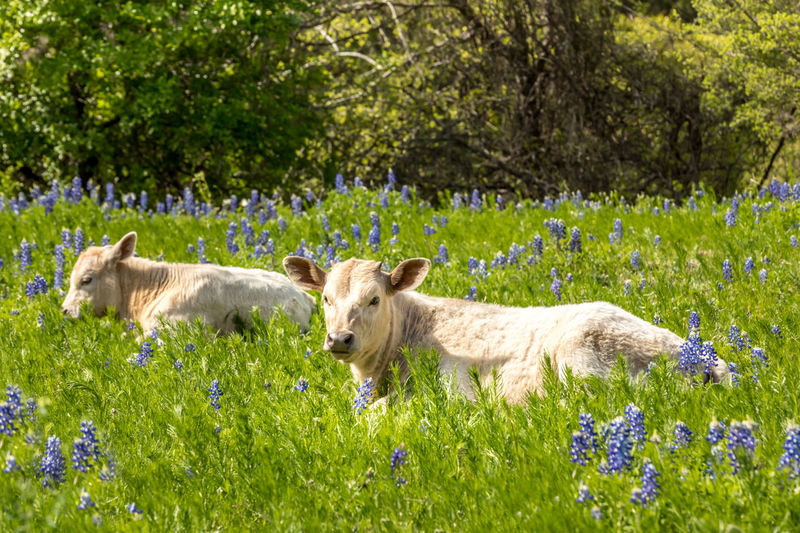Calfs in Texas on a meadow with blue bonnets Calf Calfs Blue Bonnets Blue Bonnet Flowers Spring Springtime Texas Texas Hill Country Hill Country Livestock Cattle Cold Temperature Cows Rural Scene Meadow Lush Green Mammal Animal Animal Themes Plant Grass Flower Domestic Domestic Animals Group Of Animals Flowering Plant Pets No People Nature Vertebrate Young Animal Field Land Day Outdoors
