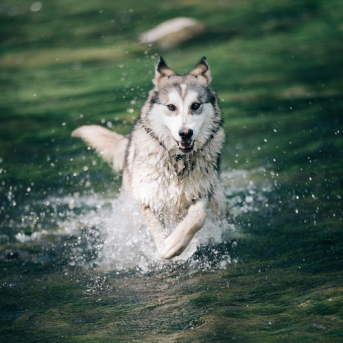 Animal Animal Themes Day Dog Domestic Animals Green Green Color Husky Livestock Malamute Mammal Motion Nature Nature Nature Photography Nature_collection No People One Animal Outdoors Pets River Riverside Running Splashing Water The Great Outdoors - 2017 EyeEm Awards Pet Portraits