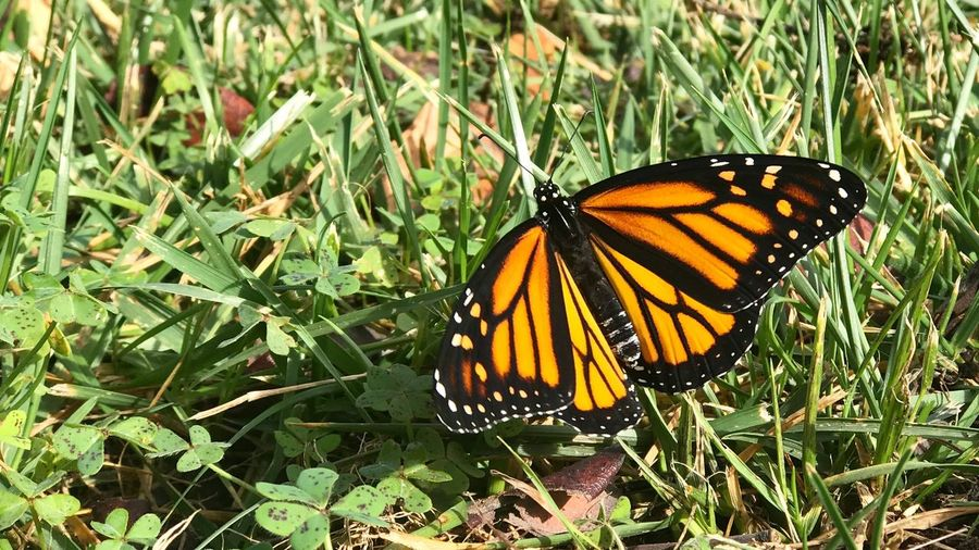 Monarch Nature Photography Nature Monarch Butterfly Invertebrate Animal Beauty In Nature Plant Outdoors Nature Close-up No People