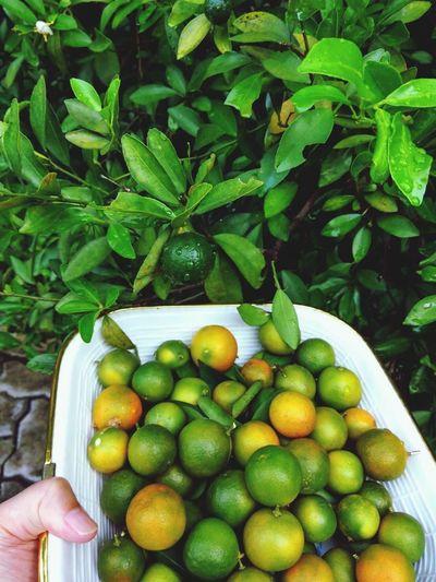 Harvesting citrus aurantium Fruit Tree Citrus Tree Tiny Citrus