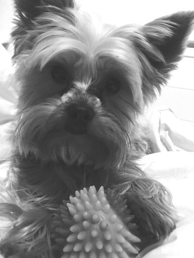 No one gets his ball ! Hisnameiskuba Yorkshire Pets Dog Indoors  Xoxo Looking At Camera Baby Mylove Satisfaction Blackandwhite Dogslover Yorkie Yorkshire Terrier KuBa OneAndOnly