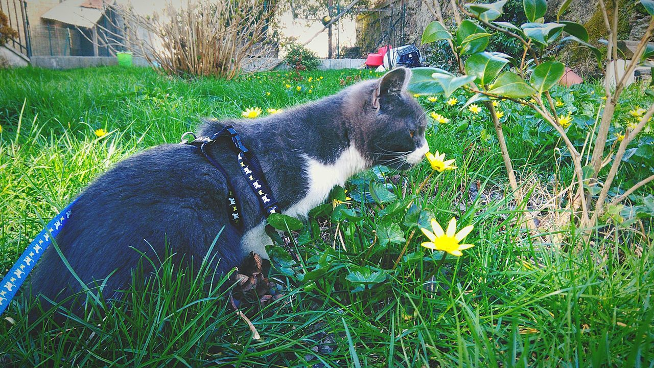 pets, domestic animals, one animal, animal themes, grass, mammal, dog, outdoors, flower, no people, domestic cat, growth, day, plant, field, nature, feline, siamese cat