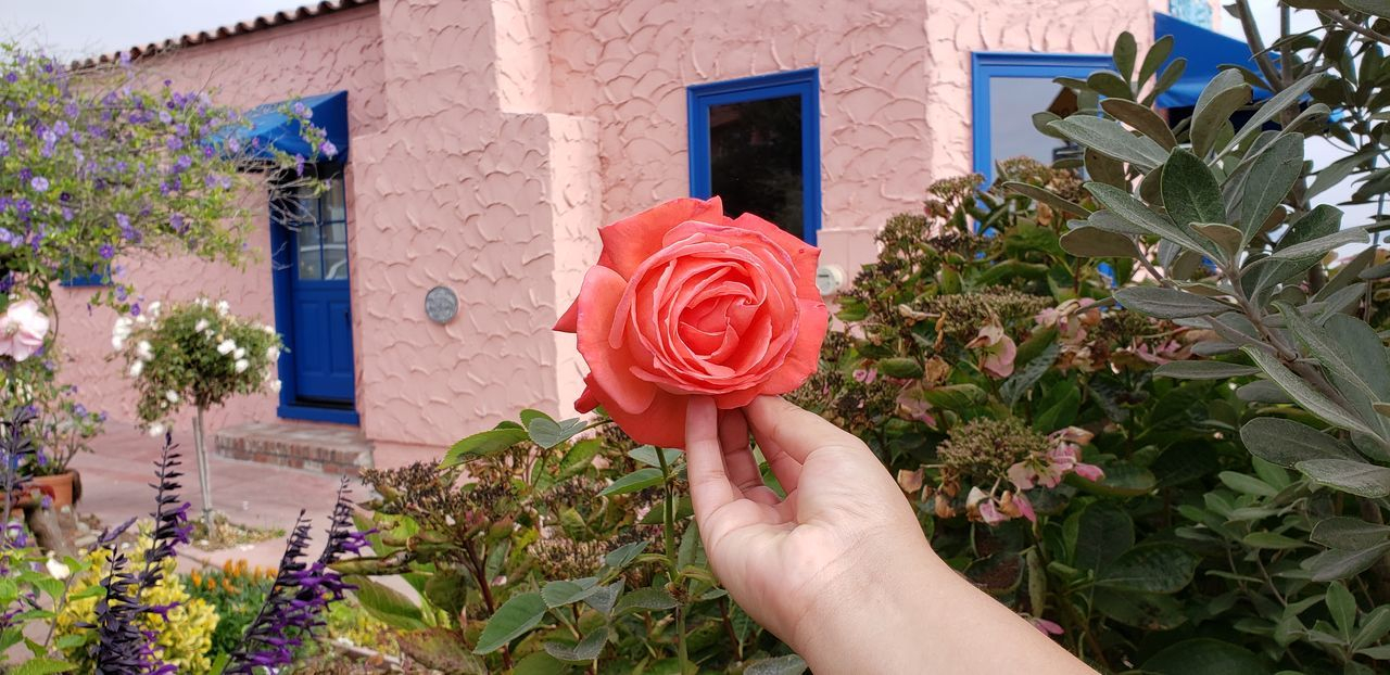 Human Hand Flower Red Holding Pink Color Building Exterior Close-up Built Structure Blooming Flower Head Single Flower Petal Single Rose In Bloom Rose - Flower