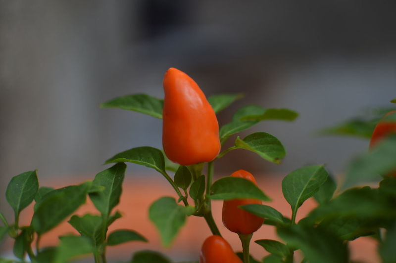 Beauty In Nature Bud Close-up Day Flower Flower Head Focus On Foreground Fragility Freshness Green Color Growing Growth Leaf Nature New Life No People Orange Color Pepper Petal Plant Plant Red Selective Focus Stem