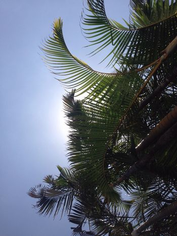 Palms Tenerife Puertodelacruz sky Naturaleza Photo picture Palmeras Tropical