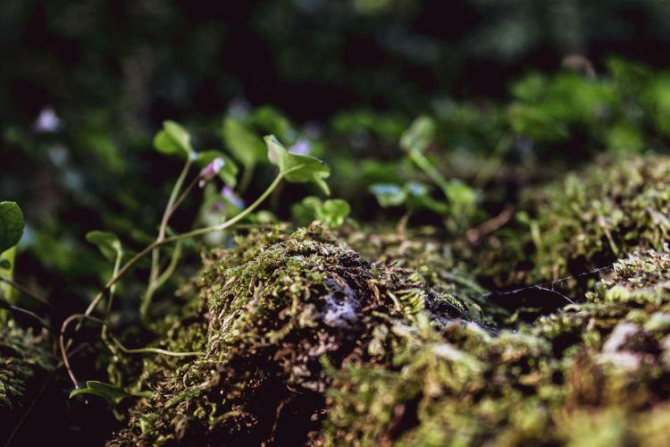 Clover on Moss,