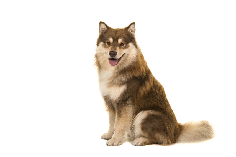 Sitting Finnish lapphund seen from the side looking at the camera isolated on a white background Finnish Lapphund One Animal Animal Themes Studio Shot Looking At Camera Sitting White Background Domestic Animals Domestic Animal Full Length Cut Out Canine