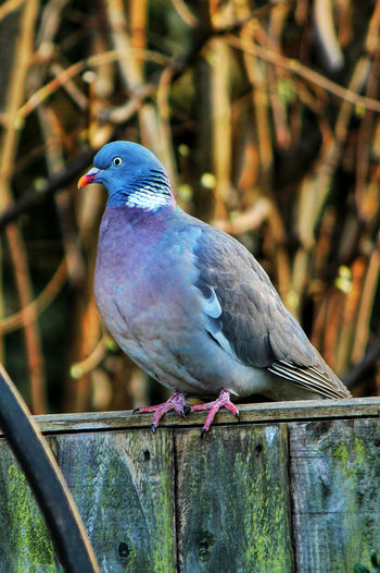 Pigeons Pigeon Bird  Pigeon PigeonSoCute Wildlife Bird Photography Birdwatching Birds_collection EyeEm Birds Birds Of EyeEm