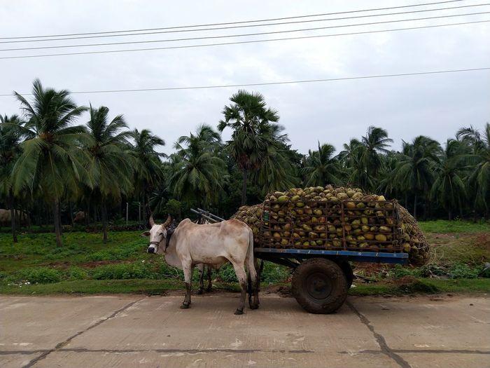 Bullocks in a coconut farm
