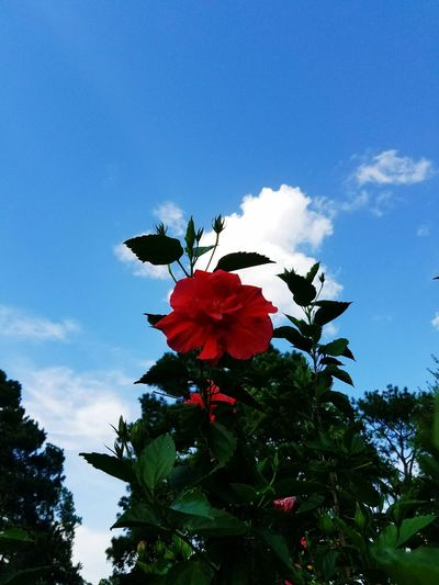 43 Golden Moments Plants Hibiscus Flower Green Texas Plant Life Flowers Nature Red Flower Red Hibiscus Sky Texas Sky Blue Sky Colour Of Life