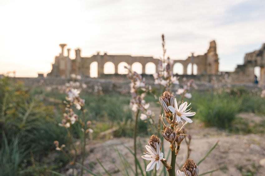 A white flower in the foreground and in the blurred background you can see the Basilica of Volubilis. Africa Antique Archaeological Sites Architecture Asphodelus Basilica Building Exterior Built Structure Flower Focus On Foreground Historic Meknès Monument Morocco No People Outdoors Roman Rome Ruin Tourism UNESCO World Heritage Site Volubilis Wall White