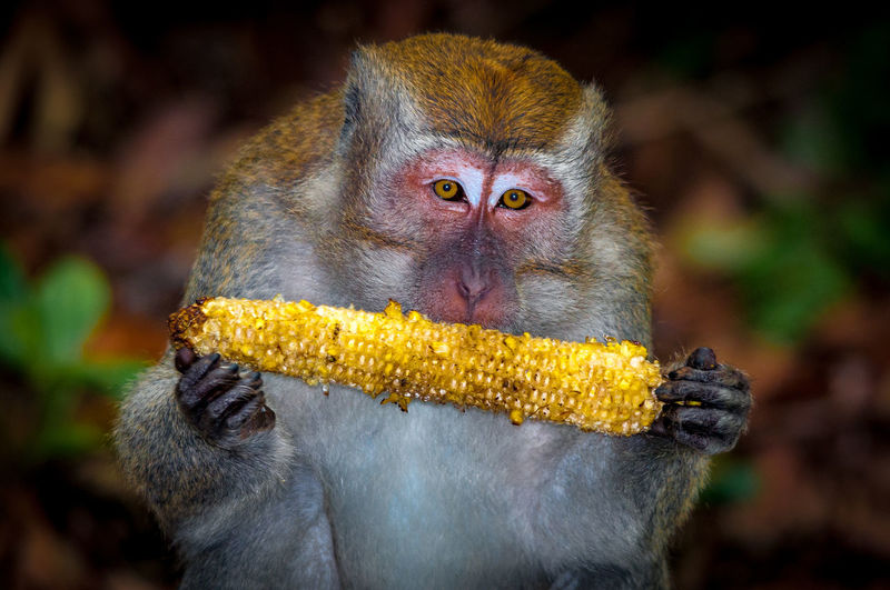 Portrait of monkey eating corn in forest