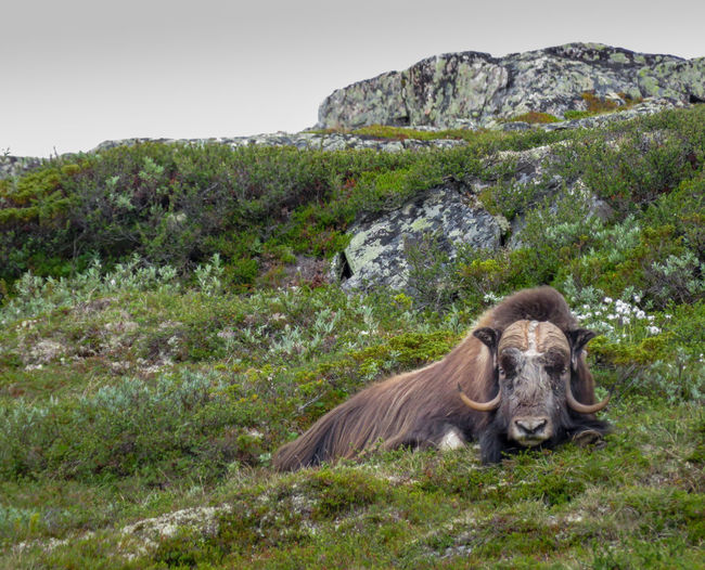 Animals In The Wild Dovrefjell Musk Ox Norway Animal Themes Animals In The Wild Day Lying Down Mammal Mountain Mountains Nature No People One Animal Outdoors Wild Wildlife