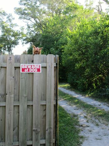 Beware what Dog? Beware Of Dog Yorkshire Terrier Yorkie Cute Dog  Cute Pets Pets Corner Puppy Beware Irony Wooden Fence Guard Dog Telling Stories Differently
