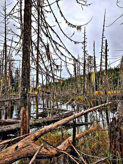 dead trees in a