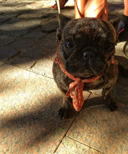 FUNNY ANIMALS Pug Carlin Toulouse France EyeEm Animal Lover French Pug Showcase April