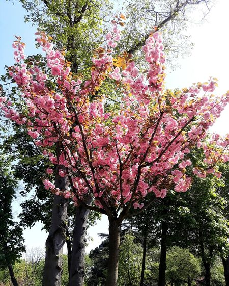 Turkey Pink Flower Tree Nature Sky Sunshine ☀ Welcomesummer Taking Photos GoodDay❤ 😍😌😊