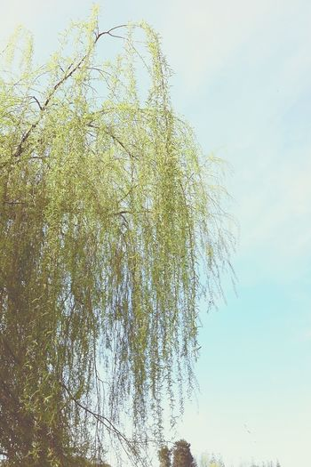Curved lignin Tree Low Angle View Sky Growth Nature No People Beauty In Nature Clear Sky Day Outdoors Branch Scenics Roath Roathpark Roathlake Cardiff Wales Wales UK Willow Willow Tree Weeping Weeping Willow Tree Trees And Sky