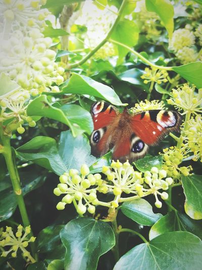 One Animal Insect Animal Themes Animals In The Wild Nature Close-up Leaf Butterfly European Peacock Butterfly Animal Wildlife Beauty In Nature Plant No People Day Green Color Outdoors Fragility Insects Collection Copy Space European Peacock