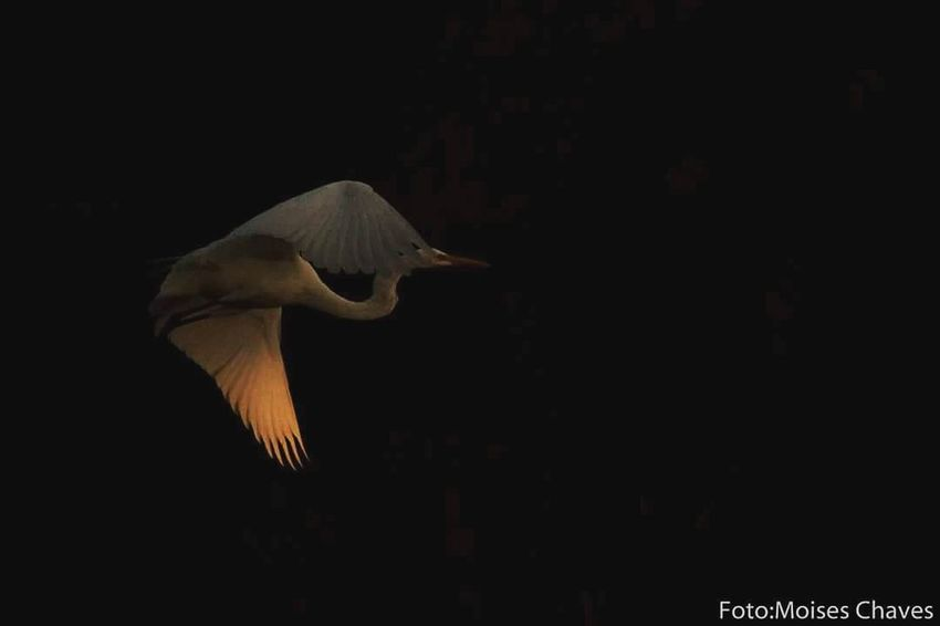 One Animal Animal Wildlife Bird Animals In The Wild Black Background Animal Themes Flying Nature Beauty In Nature