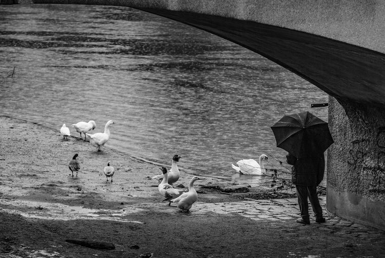 Animal Themes Animals In The Wild Beach Bird Day Ducks Gooses Nature No People Outdoors Rainy Day Southern Germany Swan Umbrella Under The Bridge Water