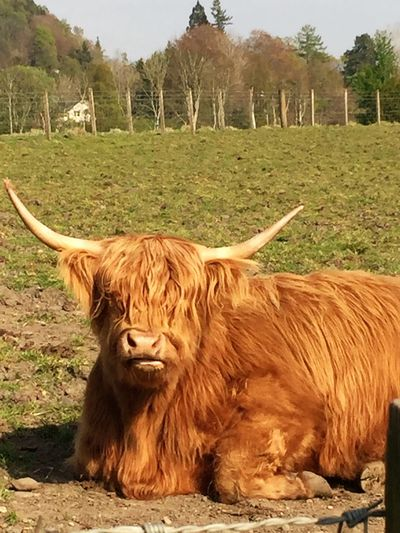 Day Nature Nice Day No People Non-urban Scene Outdoors Rural Scene Scotland Trossachs Cattle Highland Coo Highland Cattle Horns Oneanimal