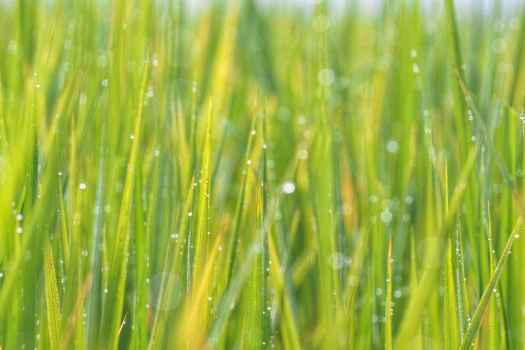 Full frame shot of wet crops growing on field