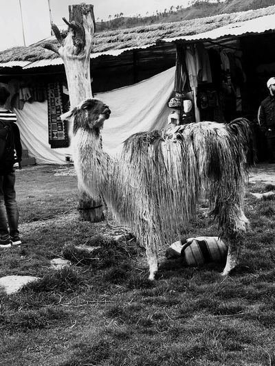 Animal Photography Diversity Perspectives On Nature Mammal Livestock Outdoors One Animal Day Real People Full Length