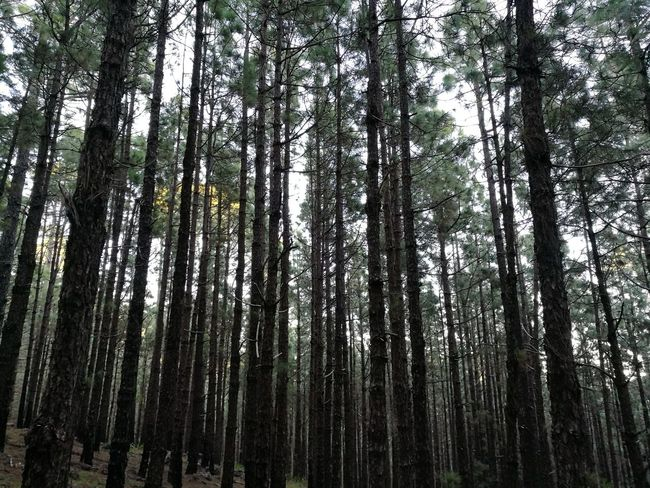 Las Raíces Tenerife Tree Nature Forest Beauty In Nature No People Tranquility