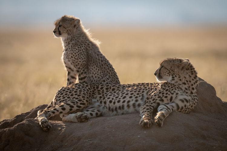 Cheetahs sitting on rock
